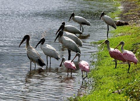 Wood Storks, Spoonbill, Birds, Waterbirds, Wading