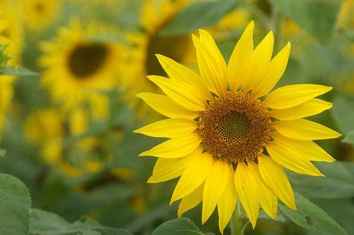 Cosmos, Sunflower, Yellow Flowers