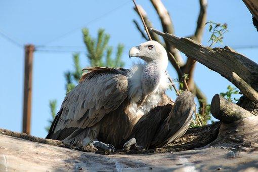 Vulture, Bird, Zoo, Scavengers, Raptor, Bird Of Prey