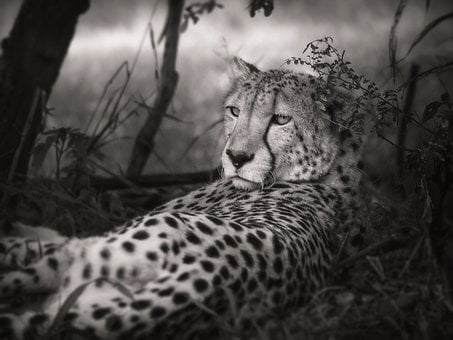 Cheetah, Black And White, Africa, Big Cat, Safari