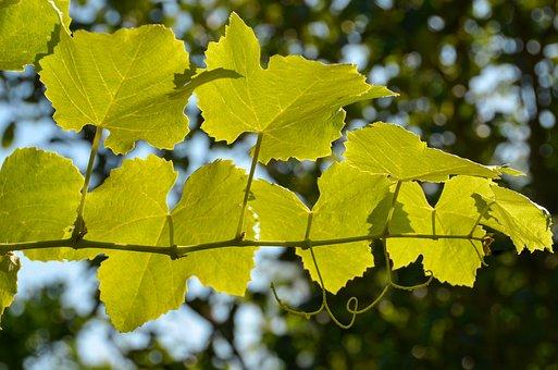 Leaves, Wine, Wine Leaf, Autumn Colours, Sunny, Entwine