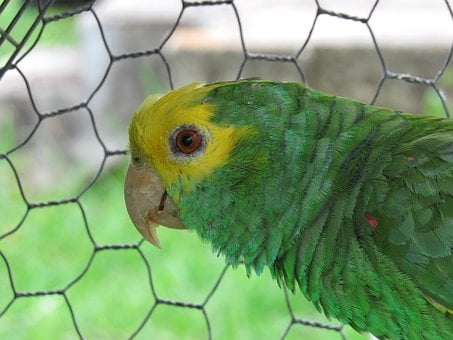 Parrot, Yellow-headed, Cage, Bird, Zoo, Fence, Nature