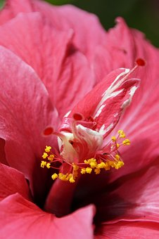 Hibiscus, Flower, Blossom, Bloom, Mallow, Red
