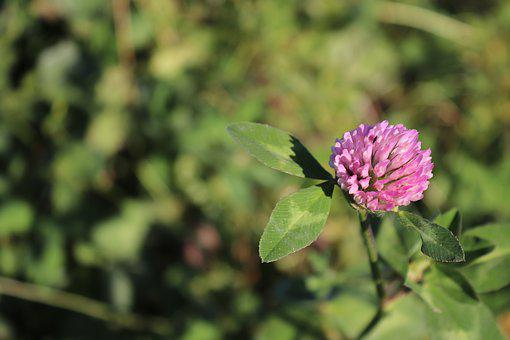 Klee, Red Clover, Blossom, Bloom, Clover Flower, Plant
