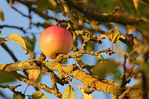 Apple, Apple Tree, Branches, Weave, Fruit, Nature