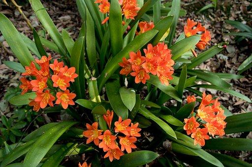 Clivia, Orange, Bulb, Flowers, Leaves, Floral, Bloom