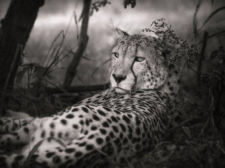 Cheetah, Black And White, Africa, Big Cat, Safari