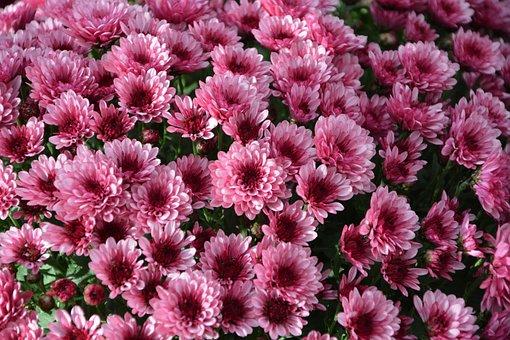 Mums, Flowers, Colors, Pink Purple, Flowers Flowers