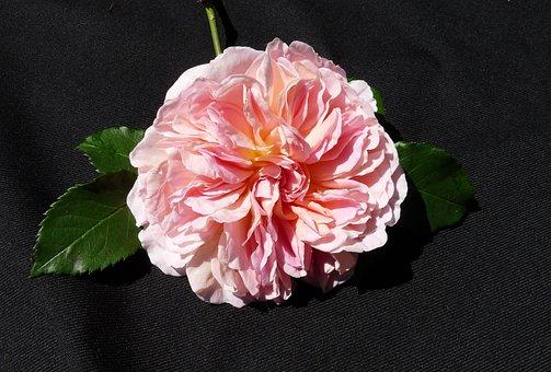 Rose, Pink, David Austin