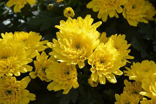 Mums, Flowers, Colors, Yellow, Flowers Flowers, Nature