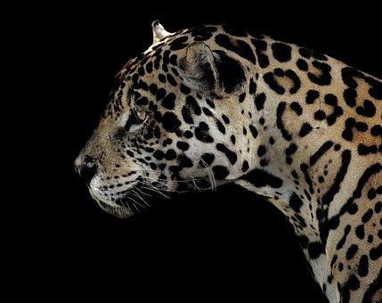 Jaguar, Spotted, Eyes, Close, Cat, Animal, Wildlife