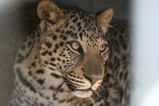 Leopard, South Africa, Wildcat, Animal World, Predator