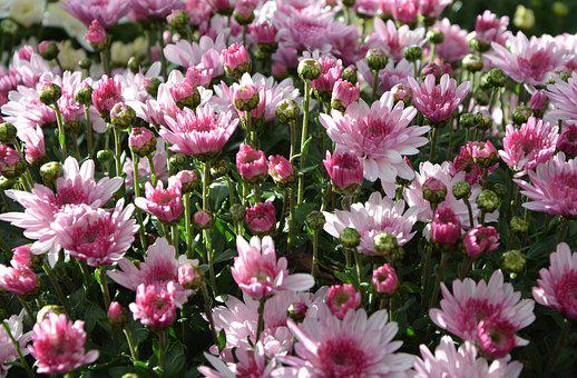 Mums, Flowers, Colors, Pink White, Flowers Flowers