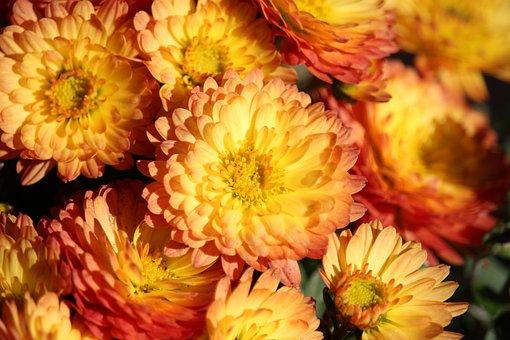Aster, Orange Yellow, Blossom, Bloom, Autumn, Orange