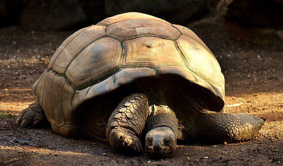 Giant Tortoises, Animals, Panzer, Zoo, Turtle, Tortoise