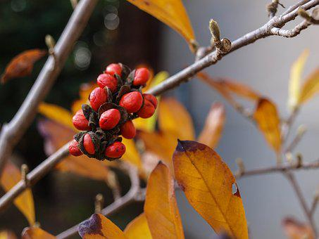 Magnolia, Seed, Plant, Garden, Fruit, Fall, Autumn