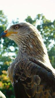 Bird Of Prey, Bird, Predator, Nature, Eye, Feathers