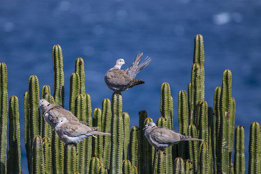 Pigeons, Cactus, Sea, Prickly, Nature, Canary Islands