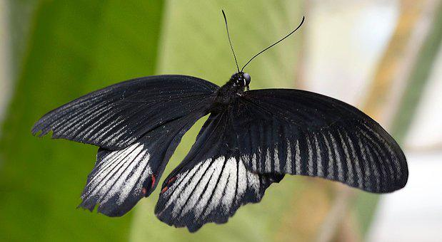 Butterfly, Insect, Wing, Fly, Animal, Black, White