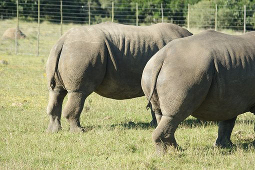 Animals, South Africa, Rhino, Rump, Wild Animals