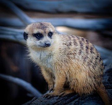 Meerkat, Striped Mongoose, Suricate, Smile, Africa