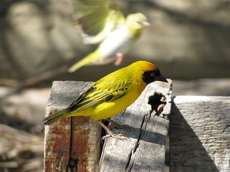 Bird, Yellow, Color, Colorful
