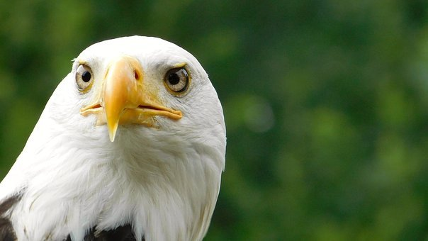 Eagle, Bird Of Prey, Nature, Animal Portrait, Eye