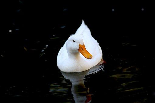Duck, White, Bird, Animal, Cute, Nature, Pond, Wildlife