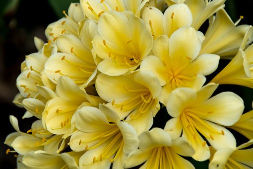 Clivia, Yellow, Bulb, Flower, Floral, Bloom, Blossom