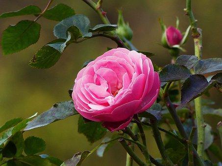 Rose, Late Summer, Blossom, Bloom, Flower, Garden
