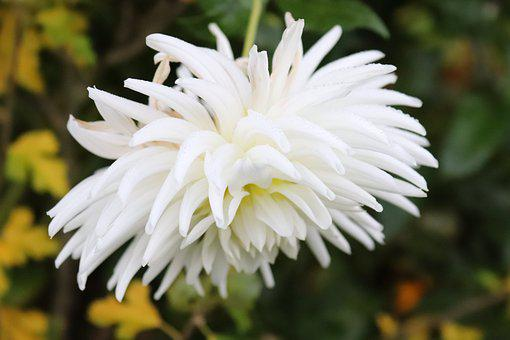 Dahlia, Blossom, Bloom, White, Late Summer