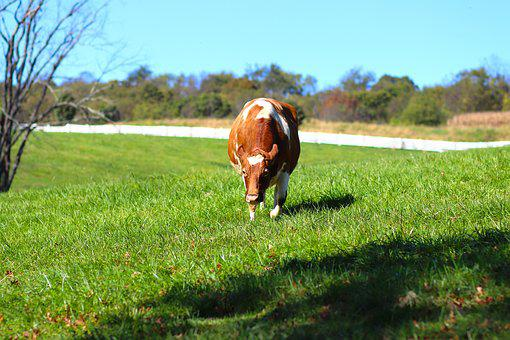 Cow, Farm, Dairy, Beef, Agriculture, Animal, Livestock