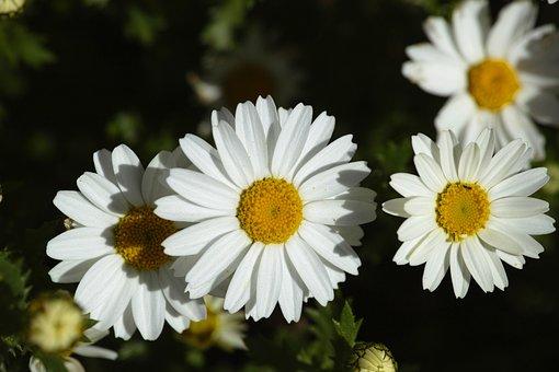 Flower, Nature, Daisy, Macro, Garden, White, Yellow