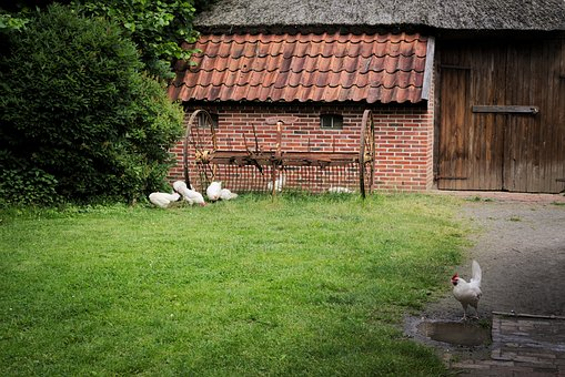 Chickens, Animals, Birds, Nature, Feather, Plumage