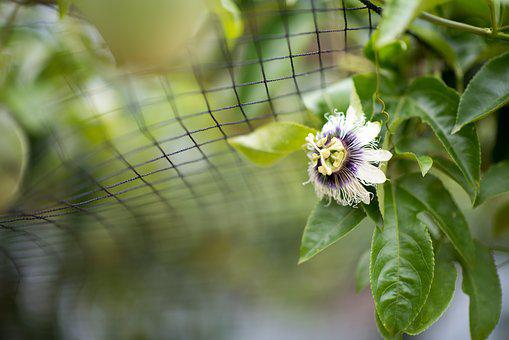 Taiwan, Fruit, Flower, Passion Fruit, Asia, Nature