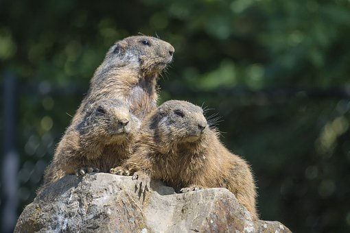 Marmots, Group, View, Nature, Cohesion, Rock, Watch