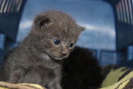 Kitten, Baby, Grey, Eyes, Blue, Baby Cat, Cat Eyes