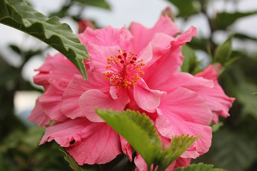 Hibiscus, Flower, Mallow, Close, Blossom, Bloom, Pink