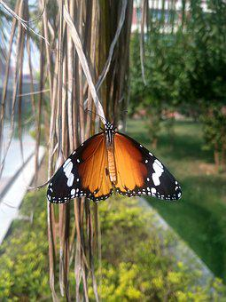 Butterfly, Danaus Plexippus, Monarch Butterfly