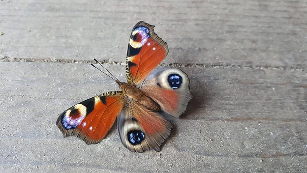 Nature, Butterfly, Natural, Color, Colorful, Animal