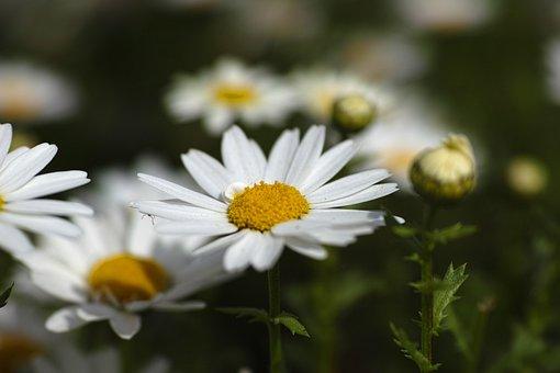 Flower, Daisy, Garden, Nature, Flowers, Plant, Yellow