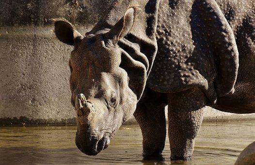 Rhino, Animal World, Pachyderm, Rhinoceros, Zoo, Skin