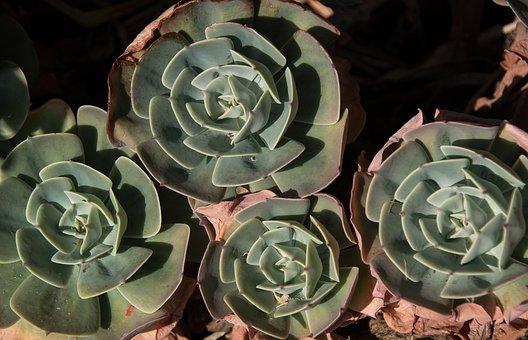Succulent, Green, Pink, Rosettes, Circles, Pattern