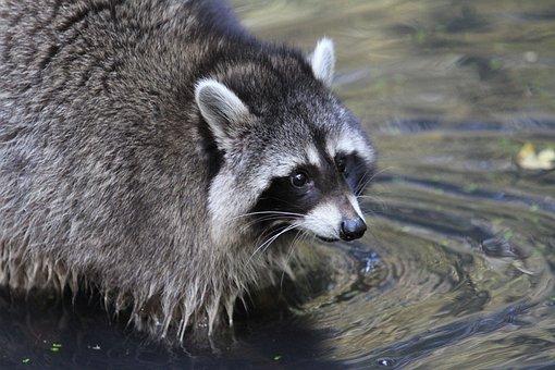 Raccoon, Bear, Furry, North America