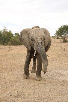 Elephant, Wildlife, Animal, Safari