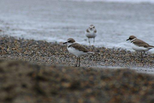 Animal, Sea, Beach, Wave, Wild Birds, Little Bird