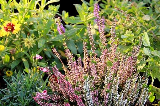 Lavender, Nature, Season, Flower, Garden, Organic