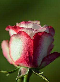 Rose, Flower, Single, Decoration, Decorative, Floral