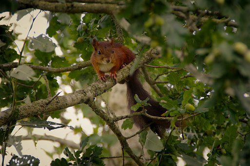 Squirrel, Nature, Animal, Forest, Rodent, Possierlich
