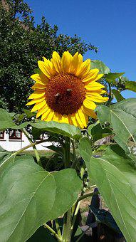Sun Flower, Bee, Flower, Summer, Plant, Pollination